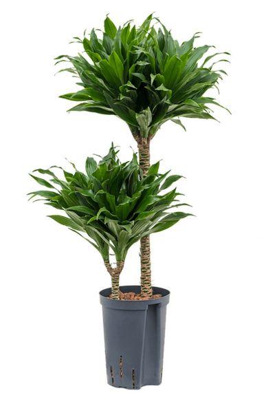Dracaena compacta hydrokulturpflanze