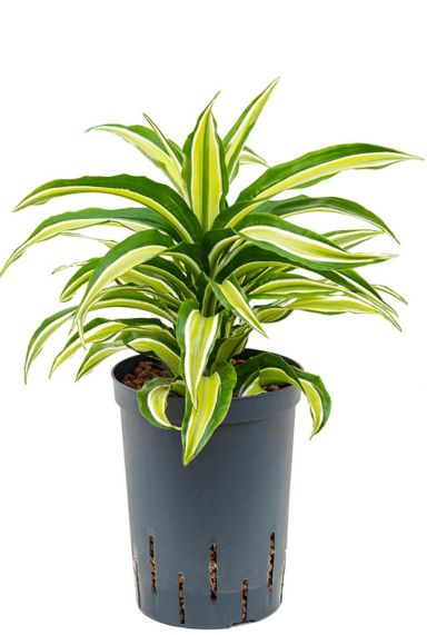 Dracaena compacta malaika hydrokulturpflanze