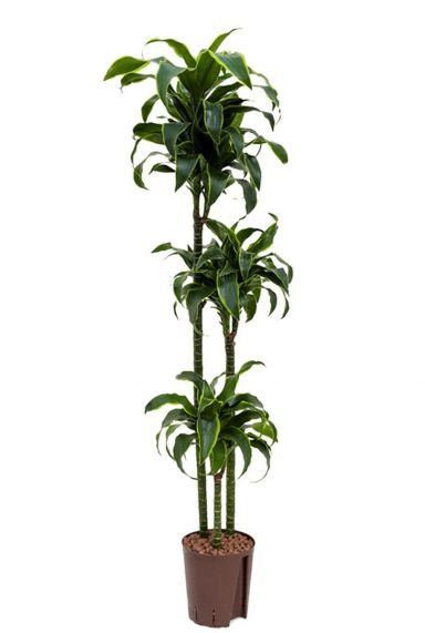 Dracaena dorado hydroplant
