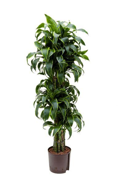 Dracaena dorado hydrokulturpflanze