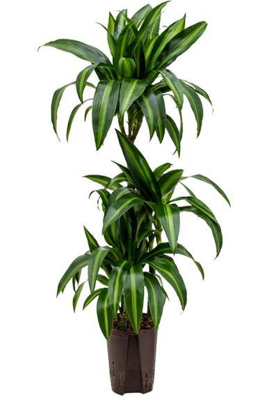 Dracaena hawaiian sunshine hydrokulturpflanze