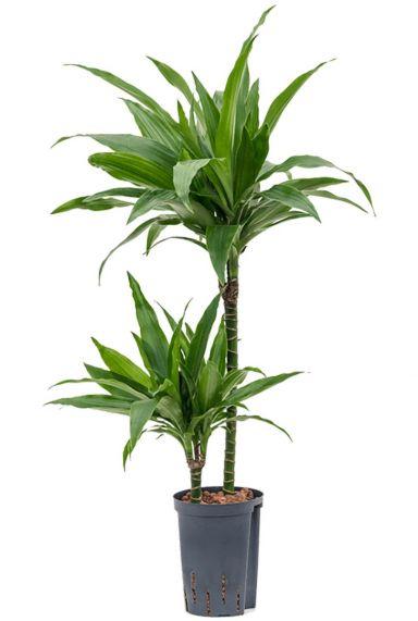 Dracaena janet craig hydropflanze