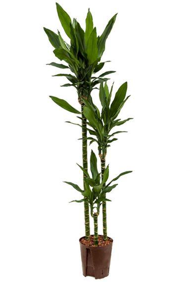 Dracaena janet lind hydrokulturpflanze