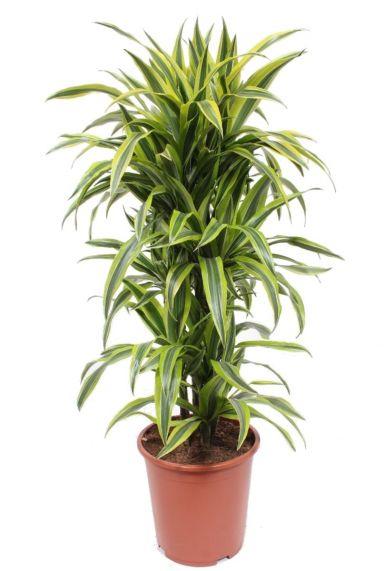 Dracaena lemon lime drakenbloedboom plant