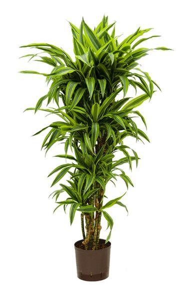 Dracaena lemon lime hydrokulturpflanze