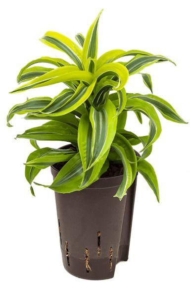 Dracaena lemon surprise hydrokulturpflanze