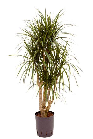 Dracaena marginata hydrokulturpflanze