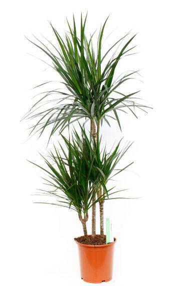 Dracaena Marginata zimmerpflanze