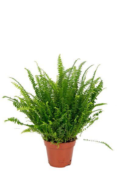 Farn grune zimmerpflanze