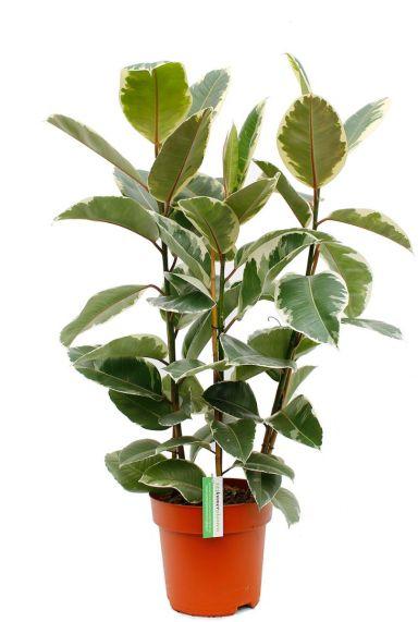 Ficus Tineke zimmerpflanze