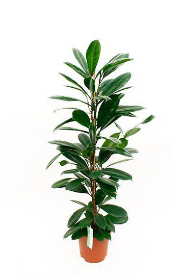 Ficus cyathistipula kamerplant