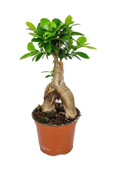 Ficus ginseng zimmerpflanze