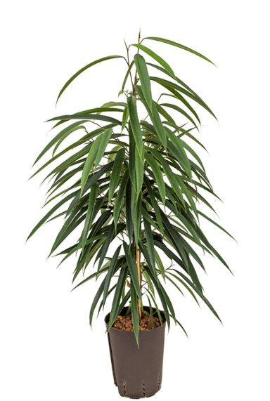 Ficus alii hydrokulturpflanze
