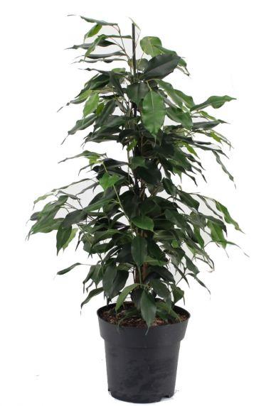Ficus benjamina danielle zimmerpflanze