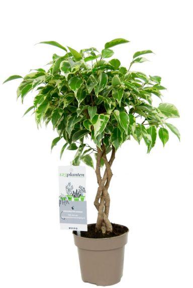 Ficus marole baum pflanze