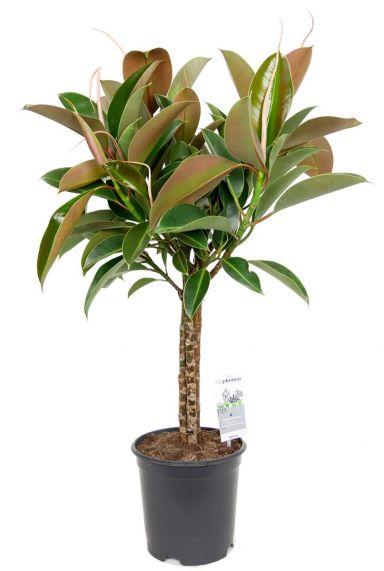 Ficus melany zimmerpflanze auf stamm