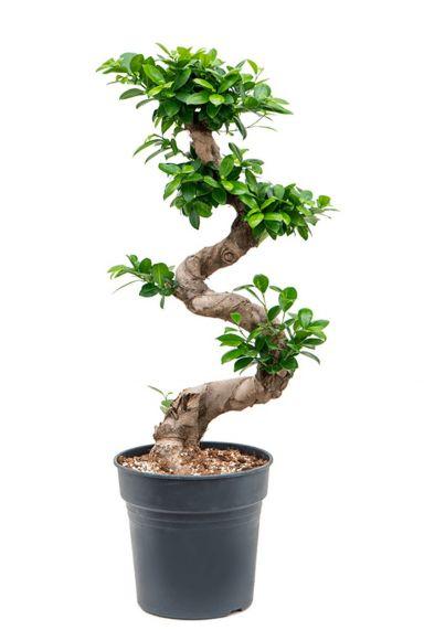 Ficus microcarpa zimmerpflanze