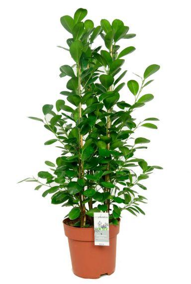 Ficus moclame kamerplant