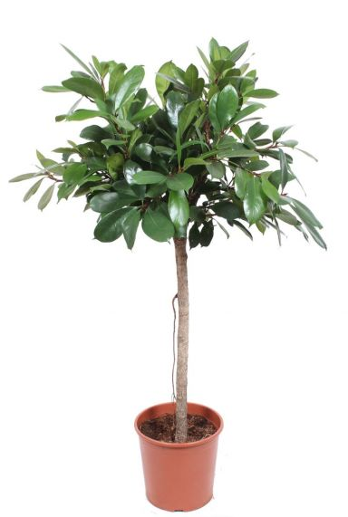 Ficus Cyathistipula zimmerpflanze