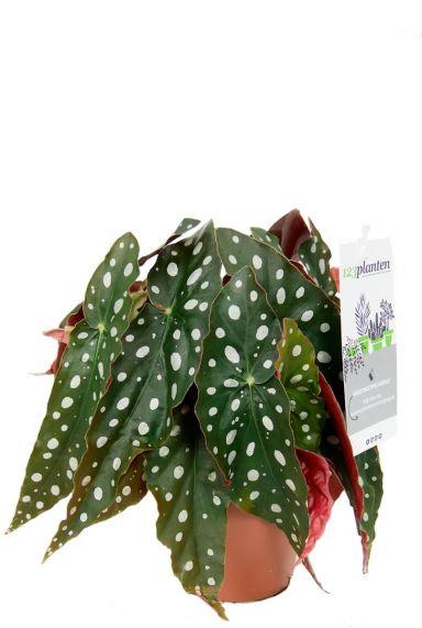 Begonia maculata  Forellenbegonie