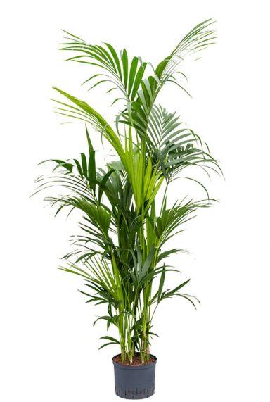 Groene kentia hydroplant