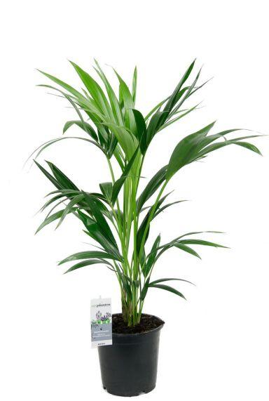 grüne Kentia Palme