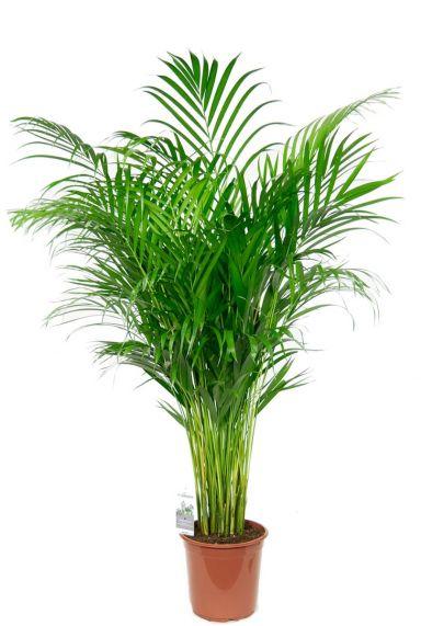 grosse areca zimmerpflanze palme