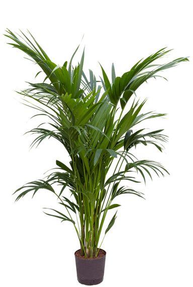 Grote kentia hydrocultuur
