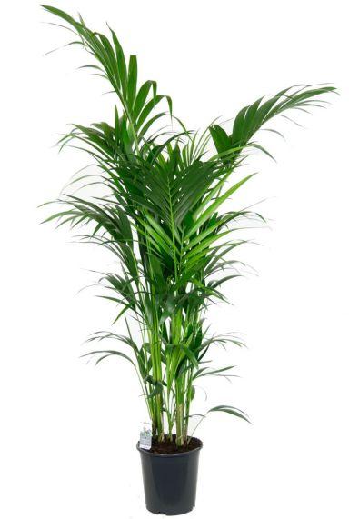 schöne grosse Kentia palme zimmerpflanze