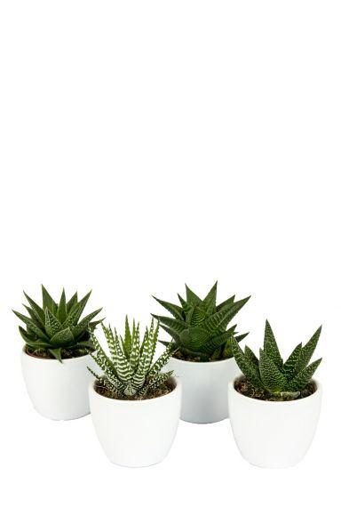 Haworthia-succulentenmix-in-potjes