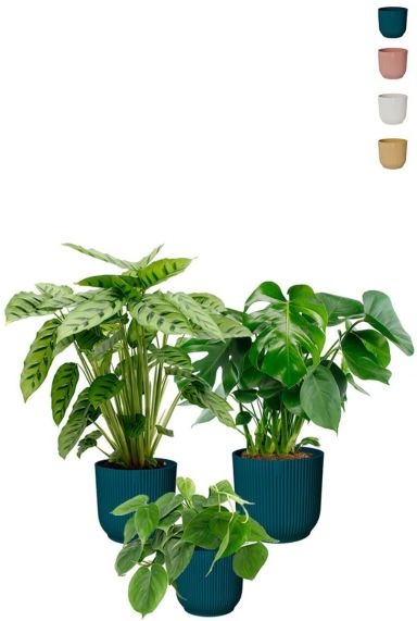 Hip plants in topfen elho
