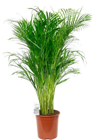 Kamerplant areca palm 2
