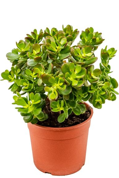 Crassula ovata minor - Jadestrauch