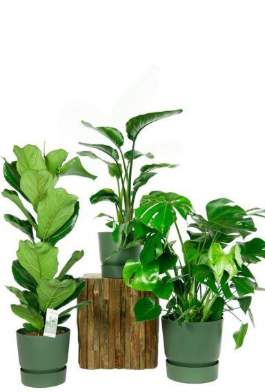 Kamerplanten grote bladeren-mix
