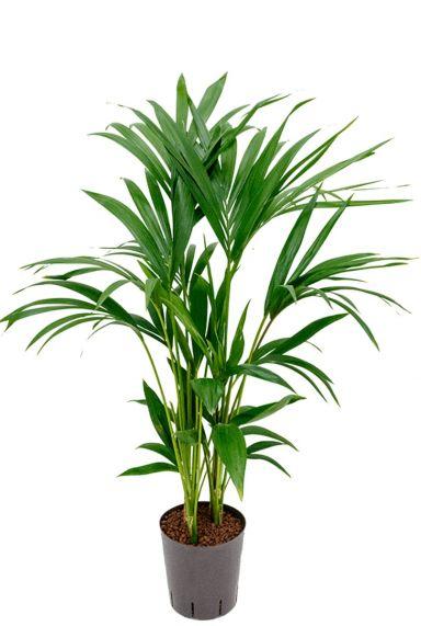 Kentia palme hydrokulturpflanze