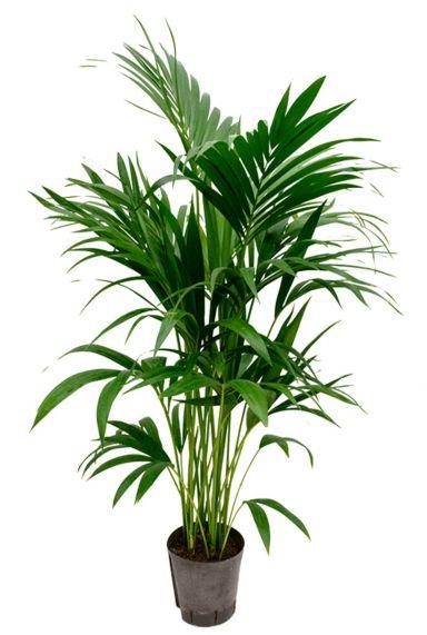 Kentia palm hydrokultur
