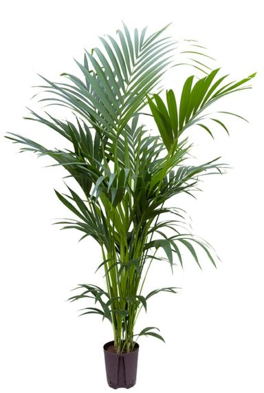 Kentia palm hydrokulturpflanze