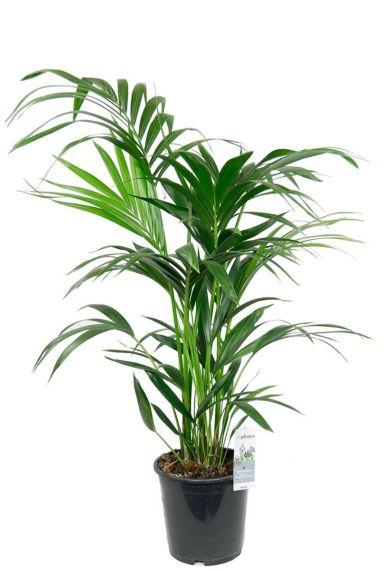 Kentia palme zimmerpflanze
