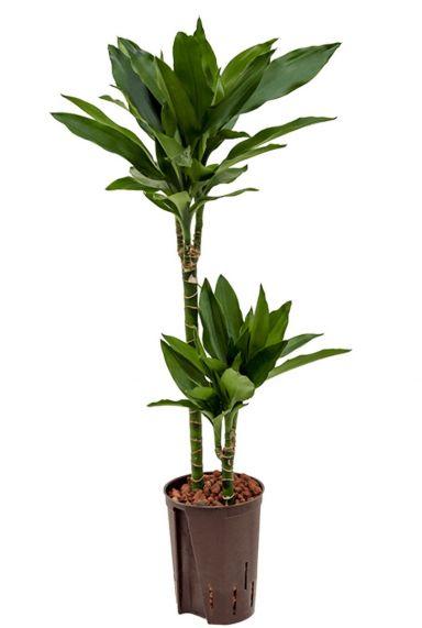 Kleine dracaena janet lind hydro kamerplant