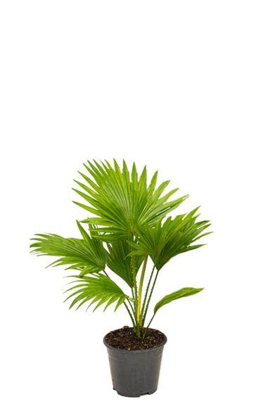 Kleine livistonia rotundifolia palme