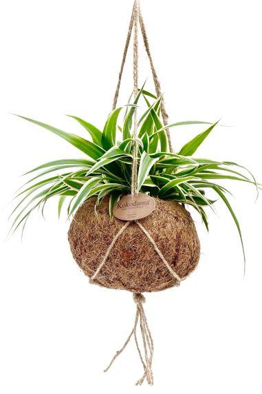Kokodama chlorophytum comosum Grünlilie