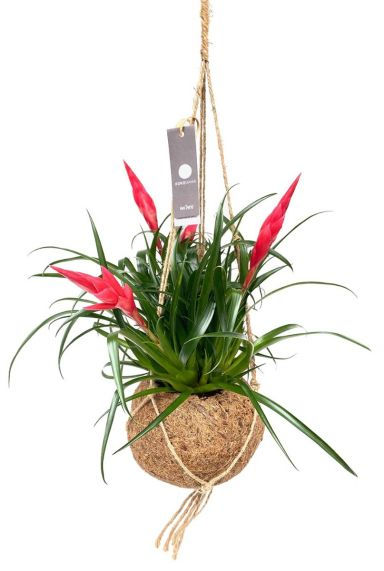 Kokodama vriesea pflanze in kokosnuss