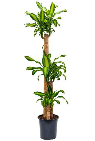 Leuke dracaena massangeana plant