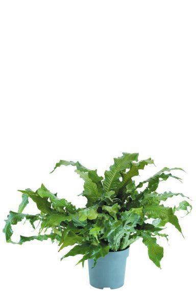 Microsorum crocodyllus  Javafarn zimmerpflanze