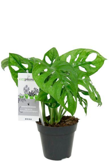 Monstera obliqua zimmerpflanze