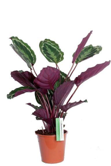schöne Calathea zimmerpflanze