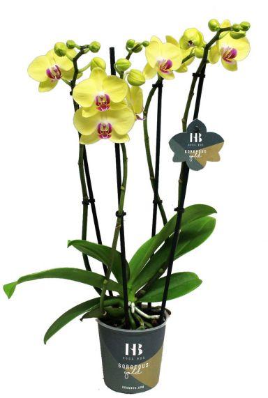 Phalaenopsis Gelb - 4 Zweige - Orchidee