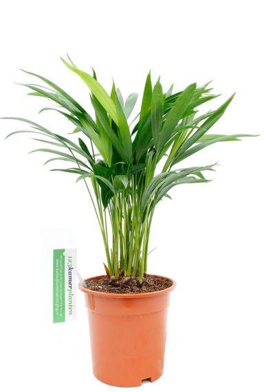 Areca (chrysalidoc.) lutescens zimmerpflanze