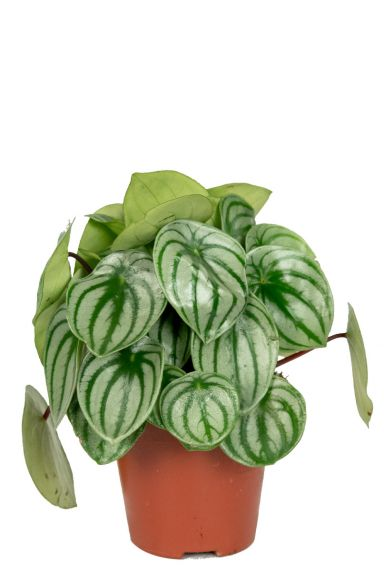 Peperomia-kamerplant