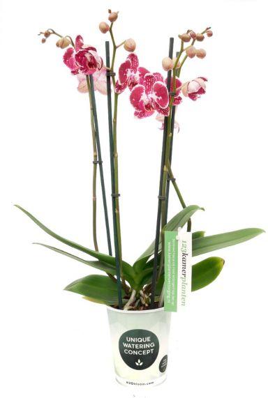 Phalaenopsis Asian Pearl - 4 Zweige - Orchidee